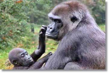 Gorilla Safaris Uganda Gorillas Kenia Safari