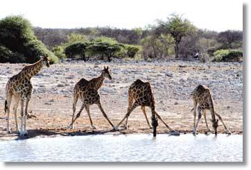 Etosha Nationalpark Namibia Camping Safaris Afrika Tours