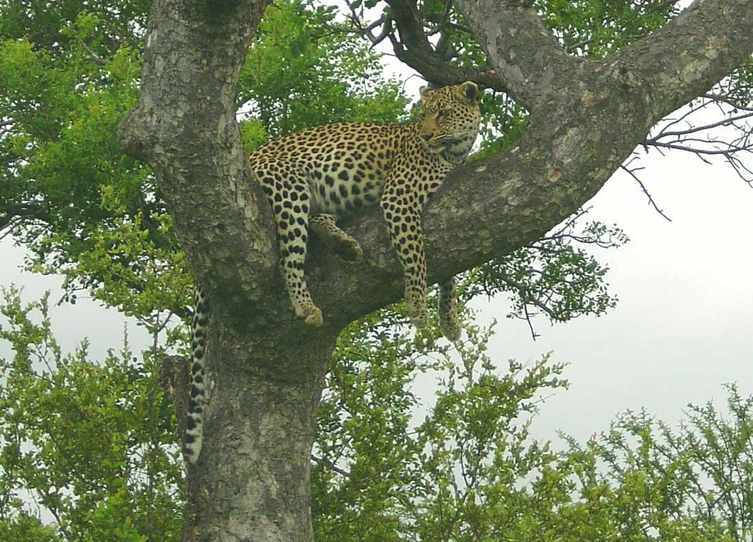 Kruger Nationalpark Leoparden