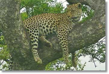 Leopard Kruger National Park Pictures South Africa