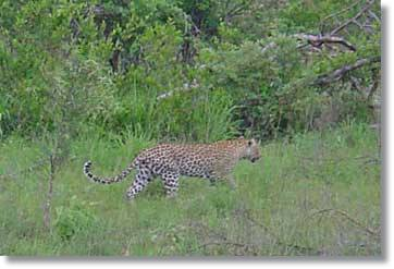 Leopards Kruger National Park Südafrika Safaris Fotos