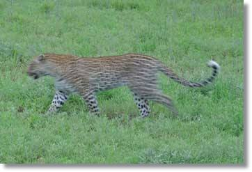 Leopard on the Hunt: Kruger National Park South Africa Tour