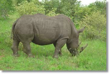 Nashorn Kruger Nationalpark Big 5
