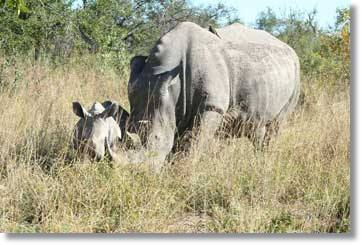 Rhino and Offspring - South Africa Big 5
