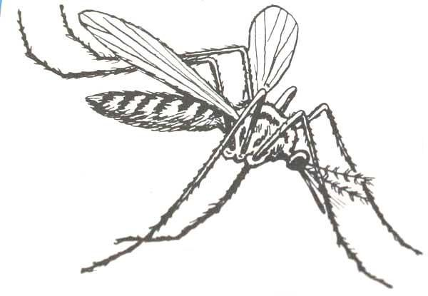 Anopheles mosquito drawing - photo#8