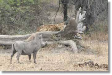 Wild Boars attack a leopard at the Kruger National Park - South Africa