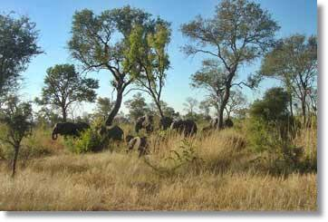 Elephants at the Kruger National Park - South Africa Safari
