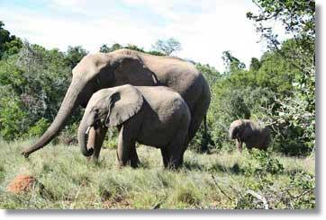 South Africa Elephants Kruger Park