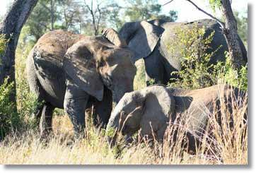 Pictures of Elephants Kruger National Park South Africa
