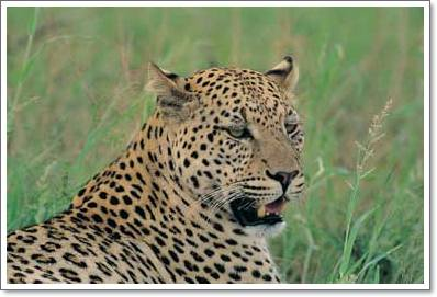 Leopards Wild Cats Kruger National Park Pictures