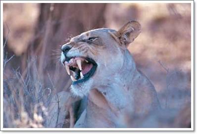 Löwen Kruger National Park