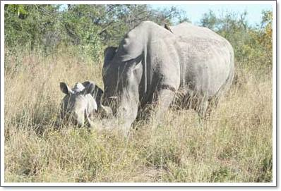 Kruger National Park - Nashorn