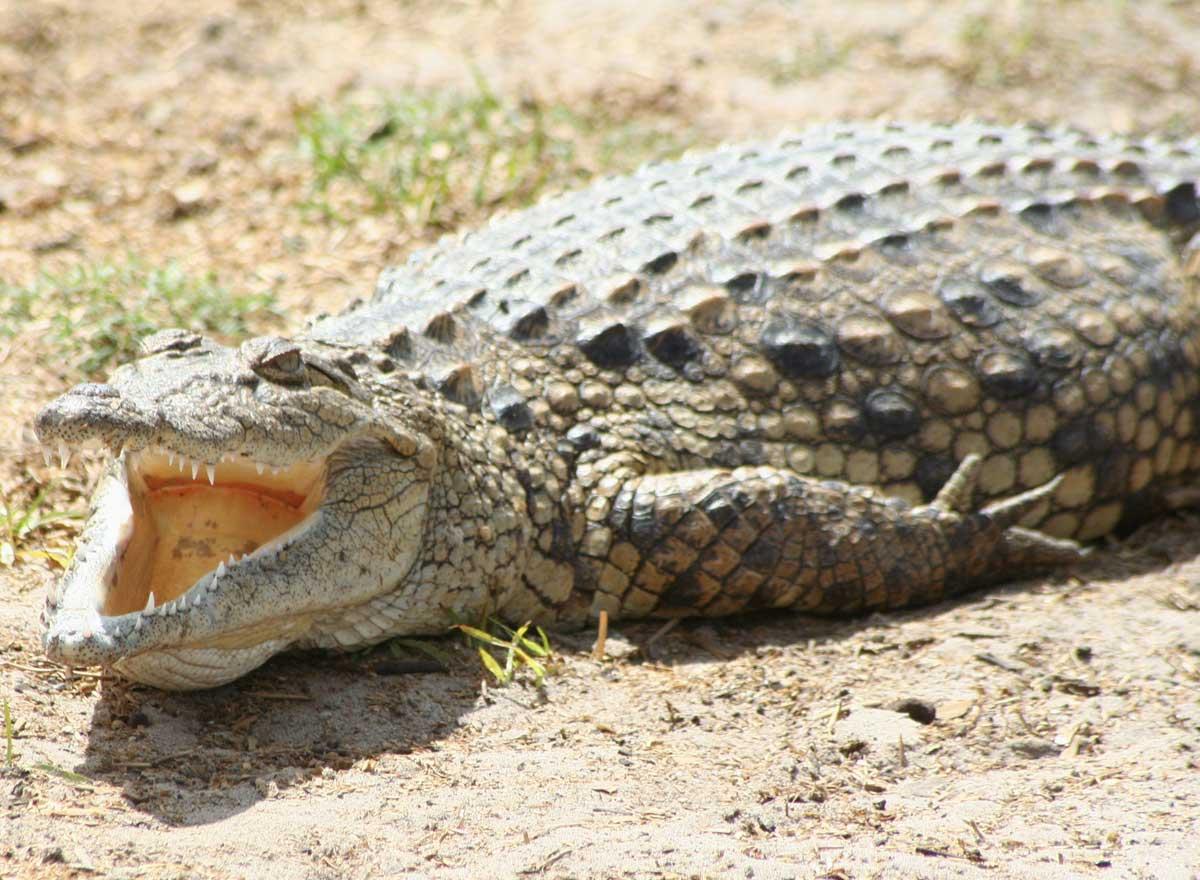 krokodil droge steckbrief