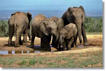 Addo Elephant Park South Africa Tour