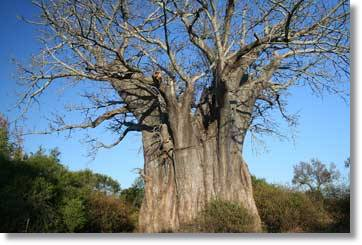 Gweta - Planet Baobab - South Africa Tour