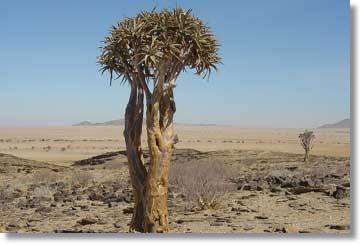 Kokerboom Forest Namibia Safaris